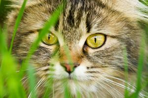 bigstock-face-of-cat-closeup-26574392