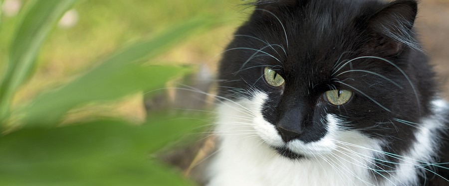 Portrait of black and white stray feral cat outdoors.