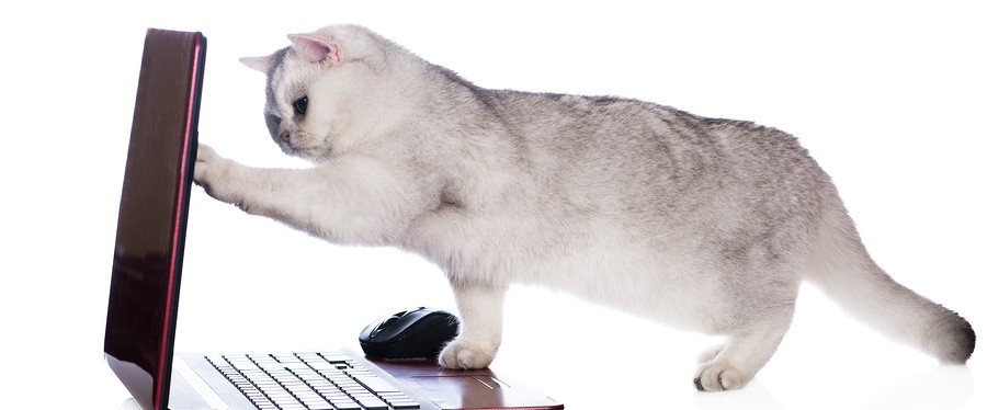 silver british shorthair cat with a laptop