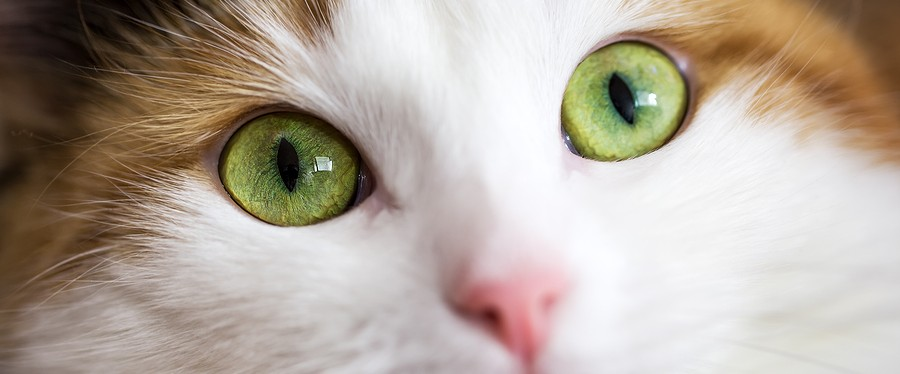 A close up of green cat eyes ** Note: Shallow depth of field