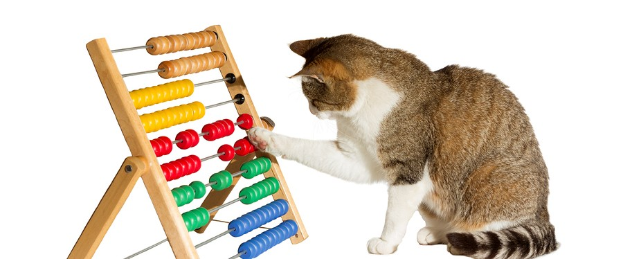 Conceptual image of a clever cat mathematician sitting playing with a large colourful abacus moving it around with its paw as it performs calculations