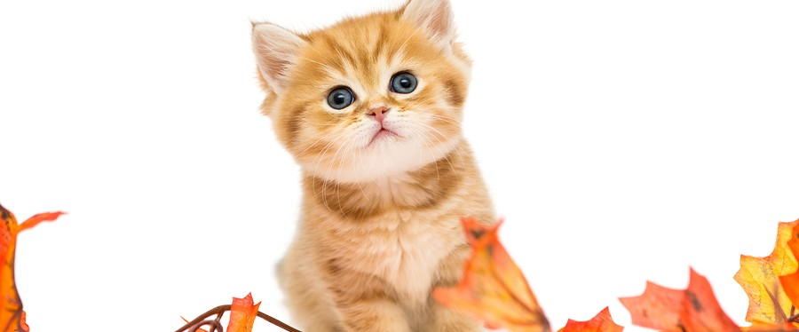 Little British kitten and autumn leaves isolated on a white background.